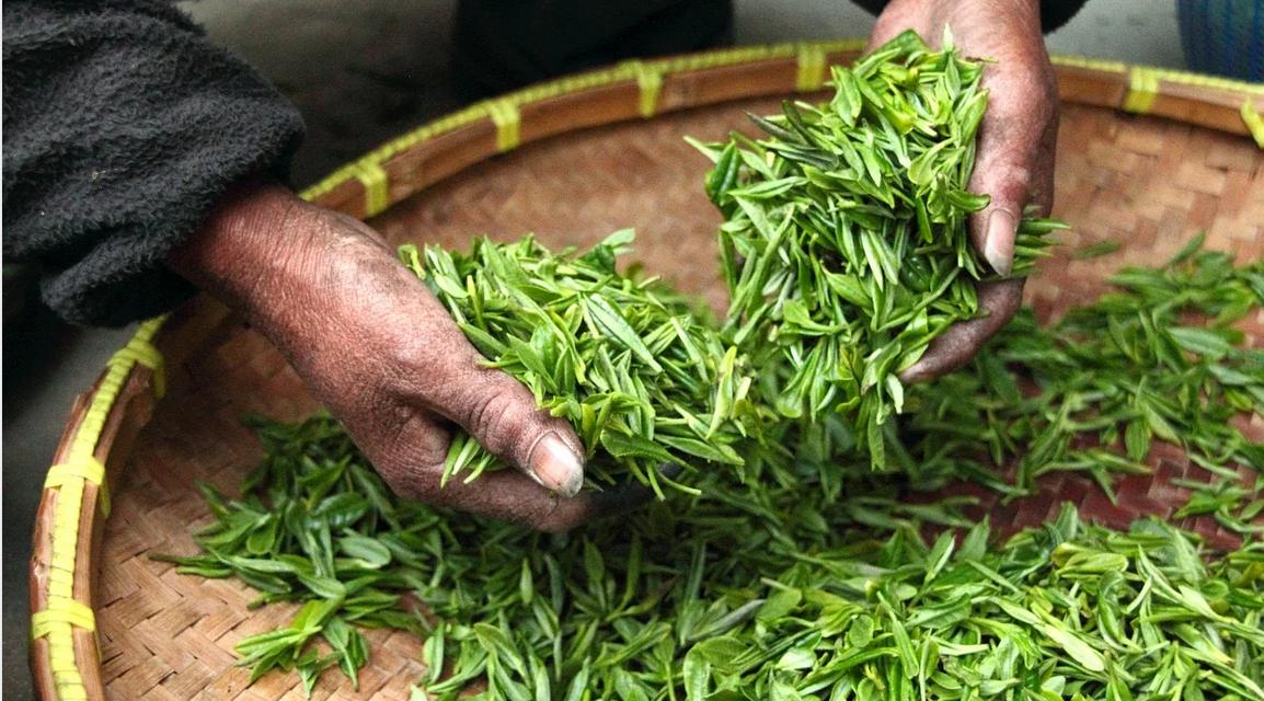 sběr čaje