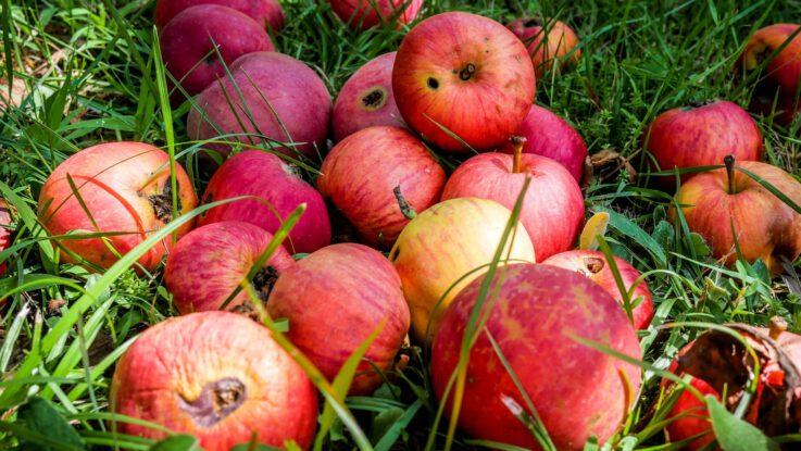 shnilá jablka