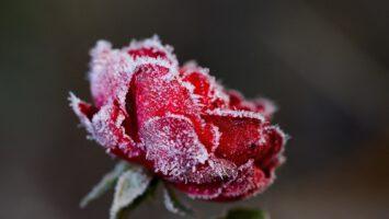 Ochrana růží před mrazem