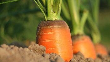 pěstovat mrkev