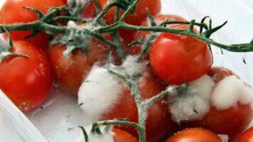 plíseň na zelenině